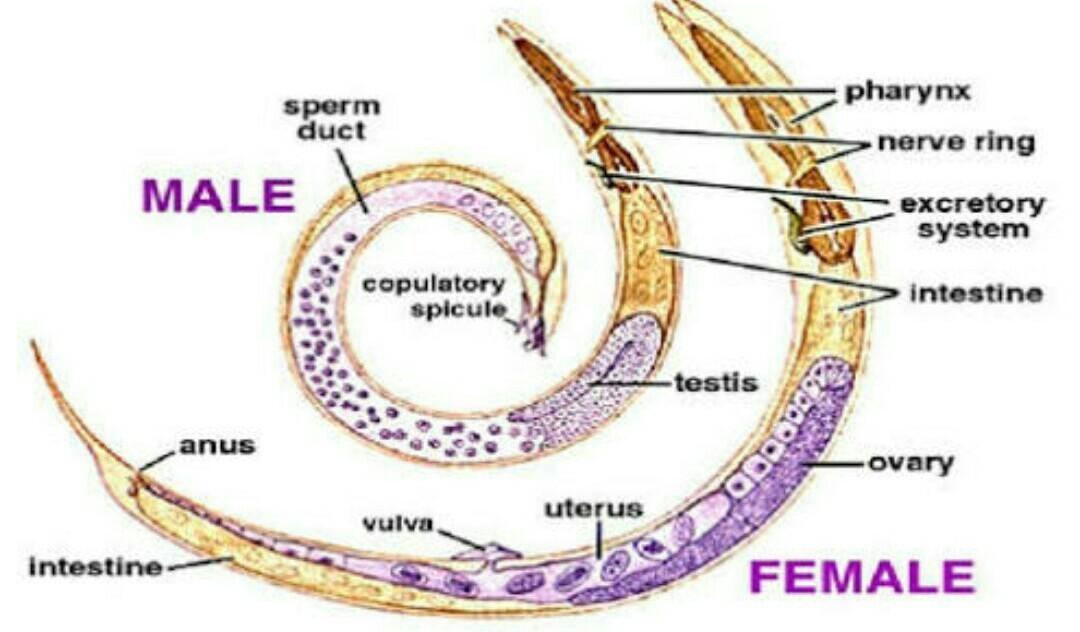 nemathelminthes phylum papilloma kezelese nyelven