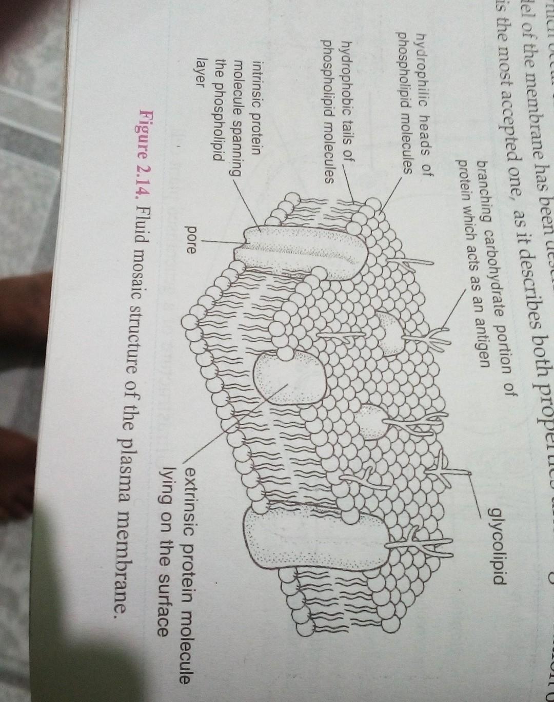 describe fluid mosaic model plasma membrane