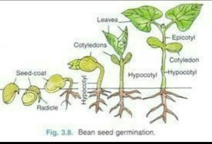 What Is Germination Draw A Labelled Diagram To Show