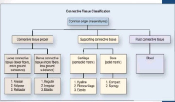 Draw A Flowchart Showing The Various Types Of Connective Tissuesof