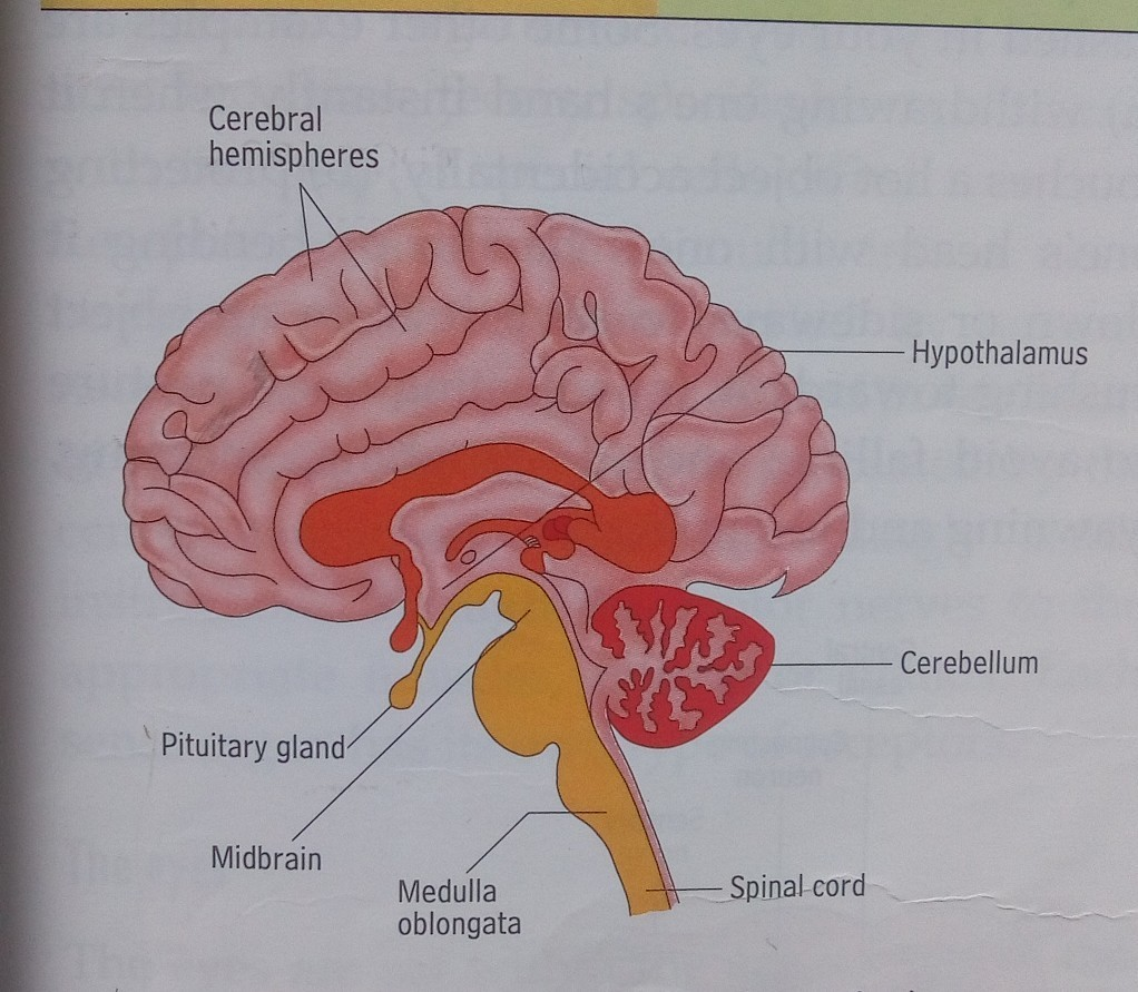 Draw a neat diagram of human brain and label medula and cerebellum ...