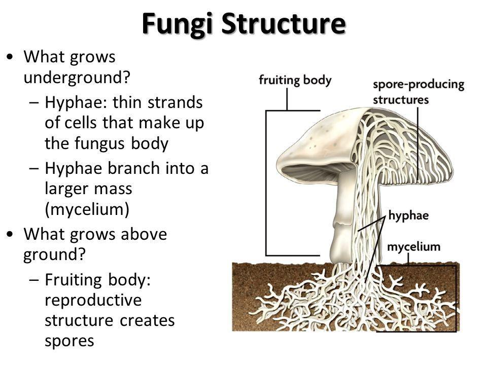 Labelled Diagram Of Fungi