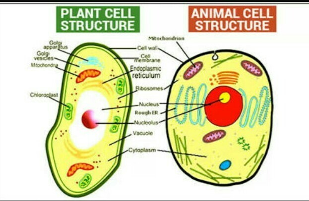 Diagram of plant and animal cell for class 8 (brief sketch ...