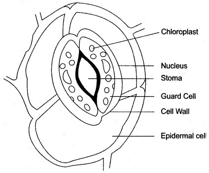 What Is Stomata Draw The Diagram To Show Its Structure