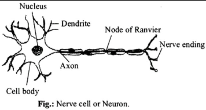 Draw a labelled diagram of a neuron brainly download jpg ccuart Images
