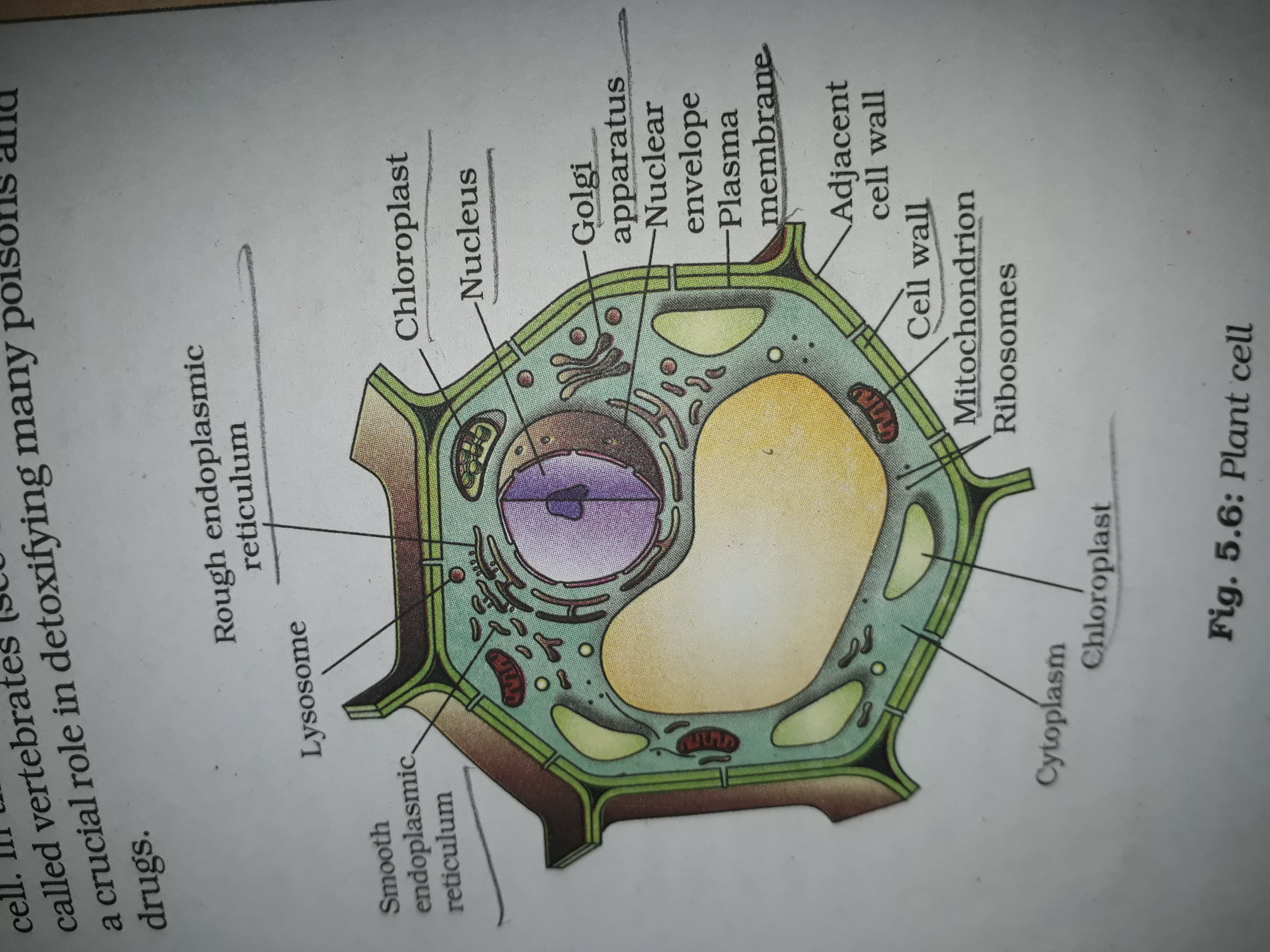 Draw the diagram of a plant cell and label any three parts ...