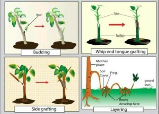 Asexual propagation of plants marcotting propagation