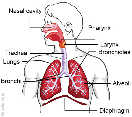 How To Draw Easy Diagram Of Human Respiratory System Brainly In