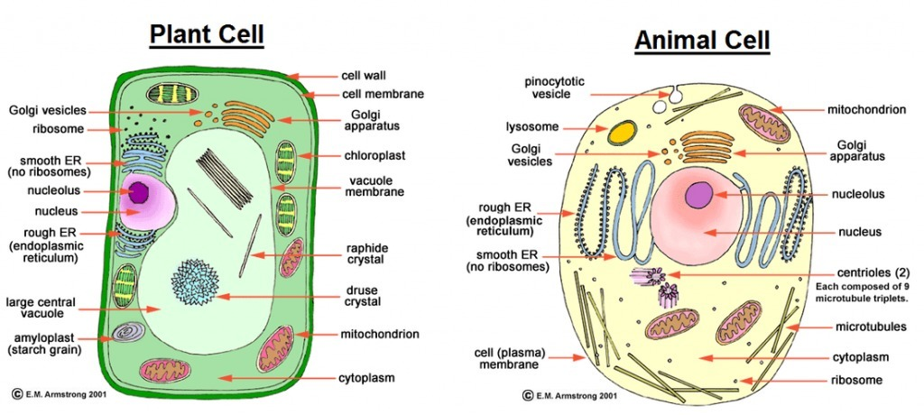 Draw The Diagrams Of Plant Cell And Animal Cell Label Any Five