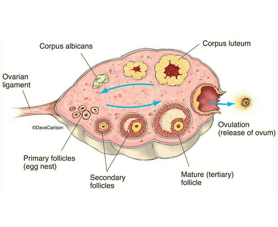 What Is Ovary With Diagram