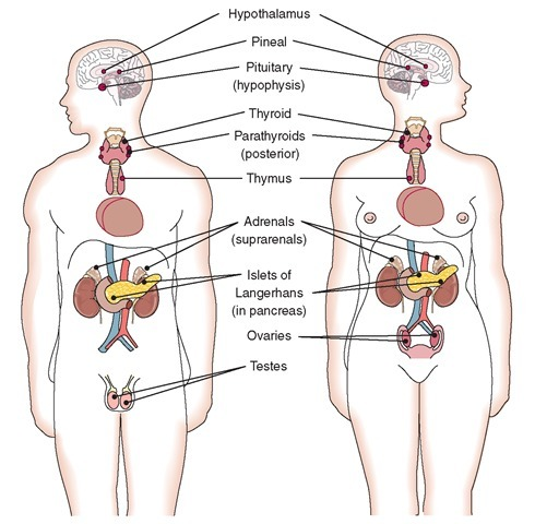 Sci show position of endocrine gland in human body and write their download png ccuart Choice Image
