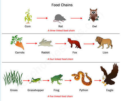 draw a diagram to show a food chain? brainly in