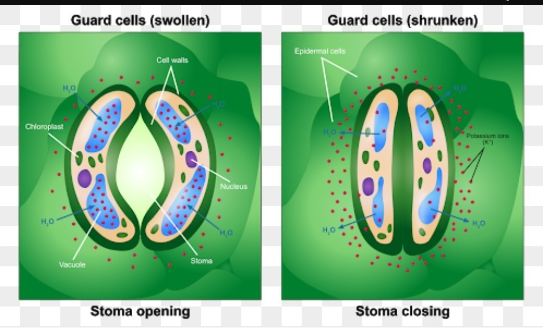 A Draw A Diagram To Show Open Stomatal Pore And Label On It 1