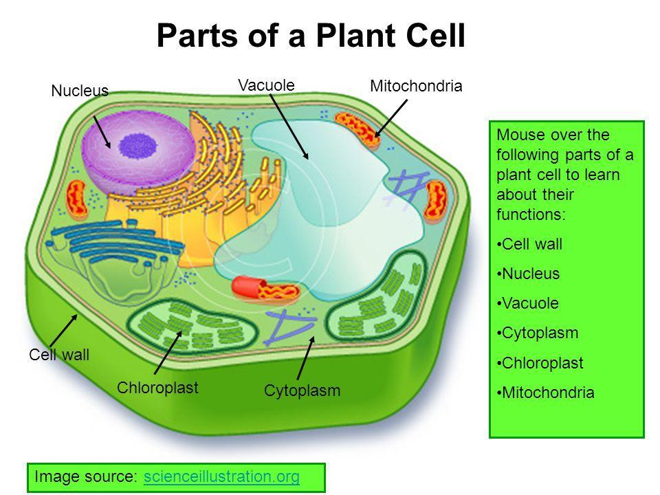 Draw the neat diagram of.plant cell. Label the following ...