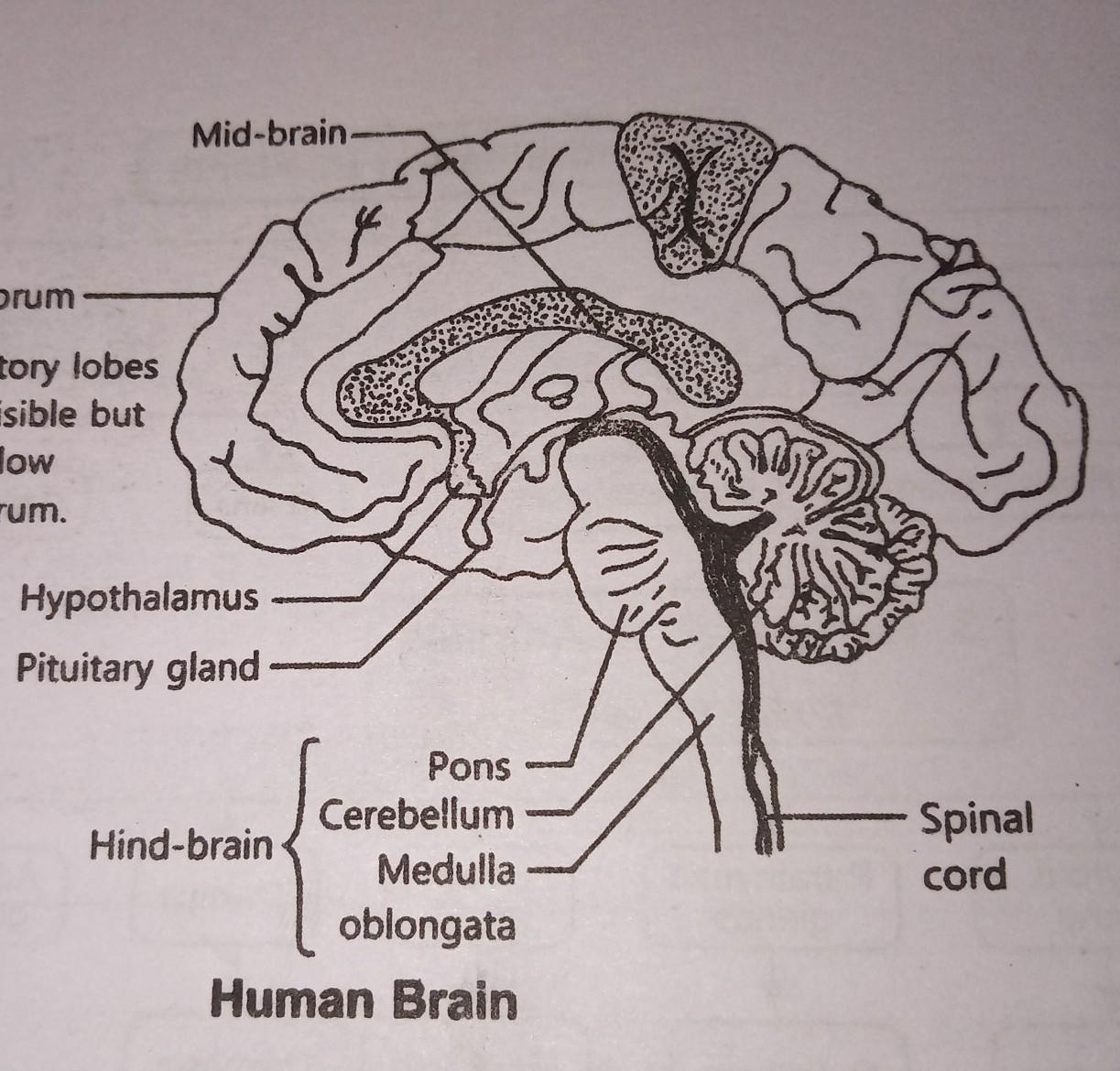 Draw A Well Labelled Diagram Of The Human Brain And Mention The Functions Of Its Various Parts Brainly In