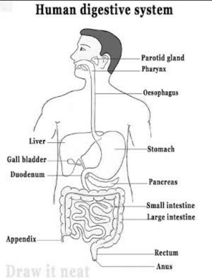 Sketch And Label A Diagram Of The Digestive System And Describe It