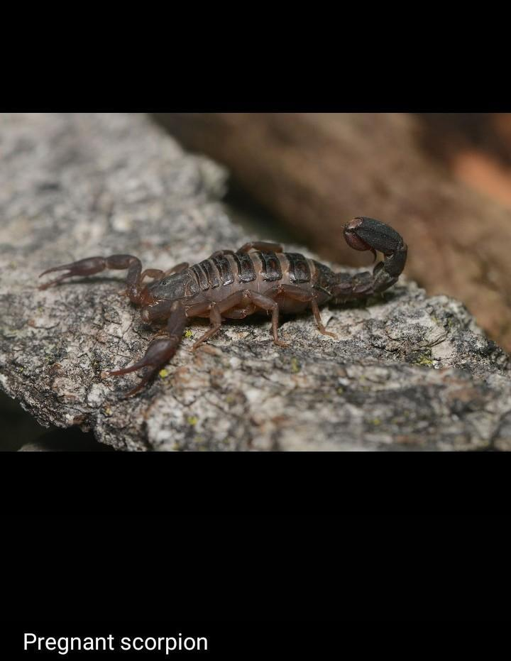 Reproduction in scorpions with special reference to